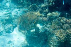 Hawsbill Turtle, Maldives