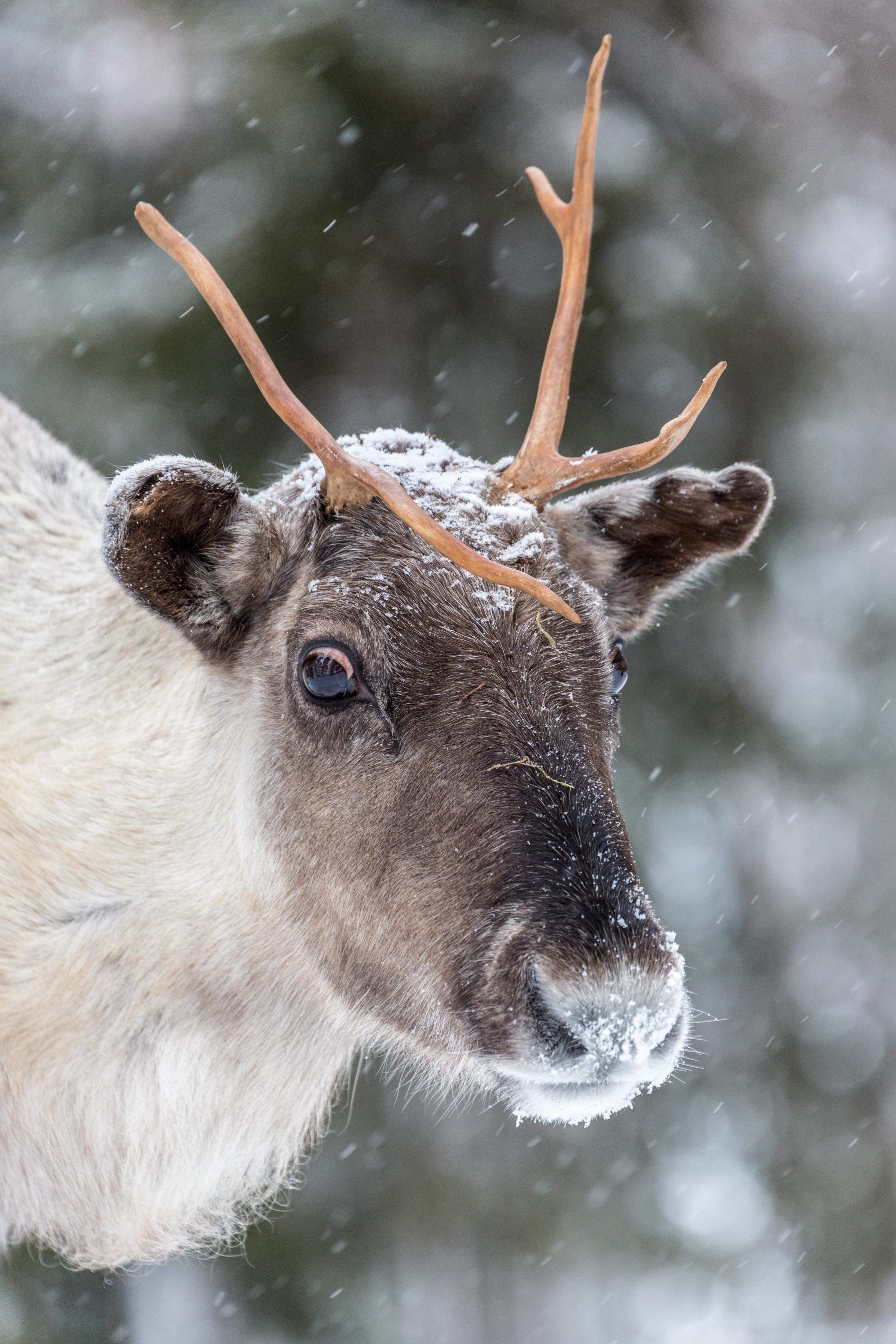 Reindeer, Arctic Circle, Finland