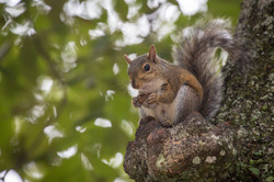 Grey Squirrel, Florida, USA
