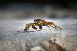 Swift-Footed Rock Crab, Maldives