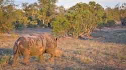 White Rhino, Timbavati Game Reserve, South Africa