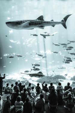 Whale Shark, Georgia Aquarium, Atlanta, Georgia, USA