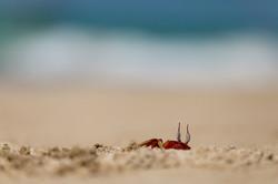 Rote Strandkrabbe, Ngapali Beach, Myanmar