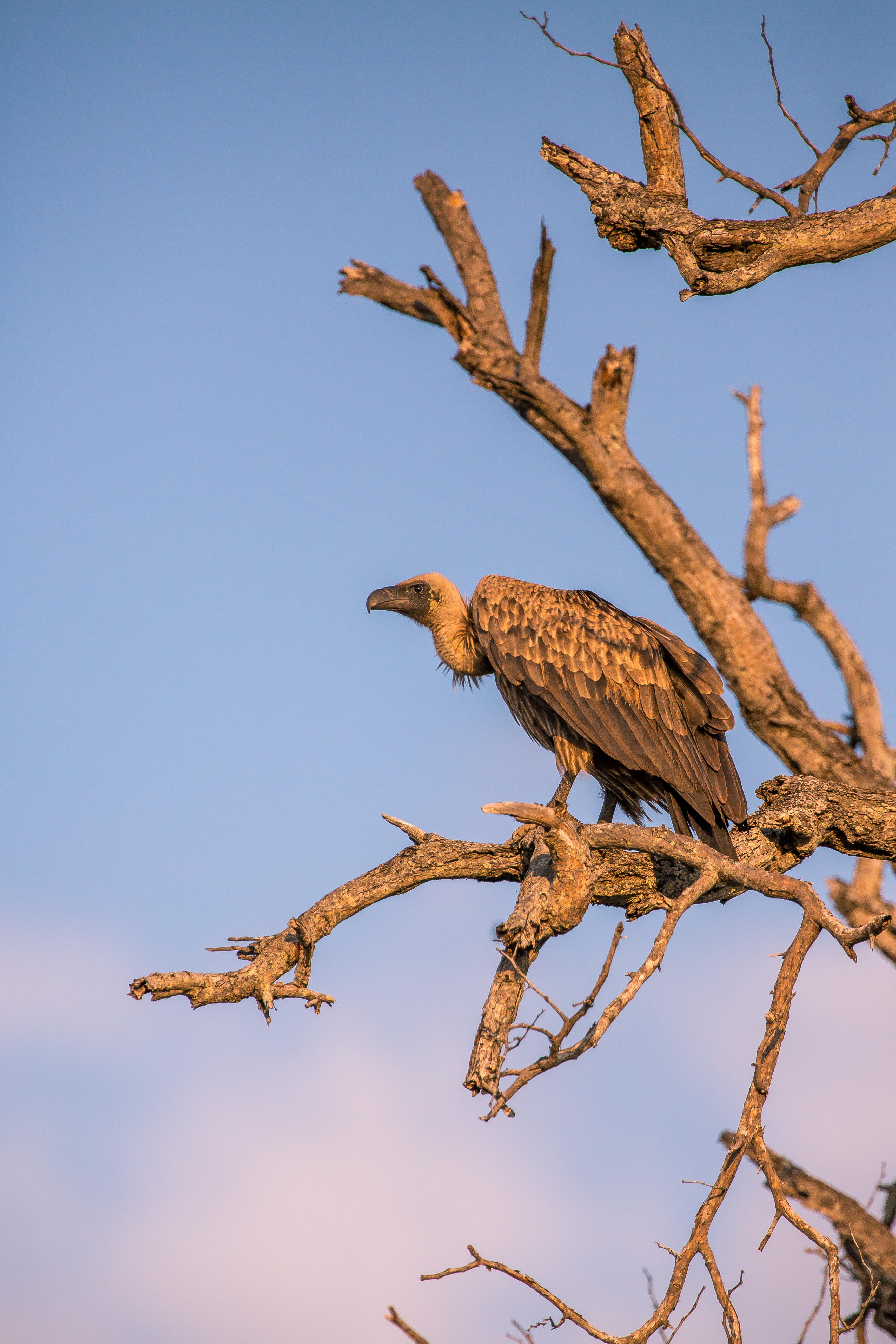Vulture, Klaserie Game Reserve, South Af