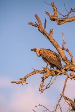 Vulture, Klaserie Game Reserve, South Af