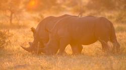 White Rhinos, Manyeleti Game Reserve, So