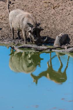 Warthog and Impala, Manyeleti Game Reserve, South Africa