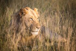 Lion, Klaserie Game Reserve, South Afric