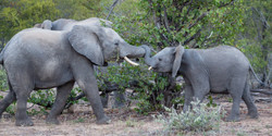 Elephants, Timbavati Game Reserve, South Africa