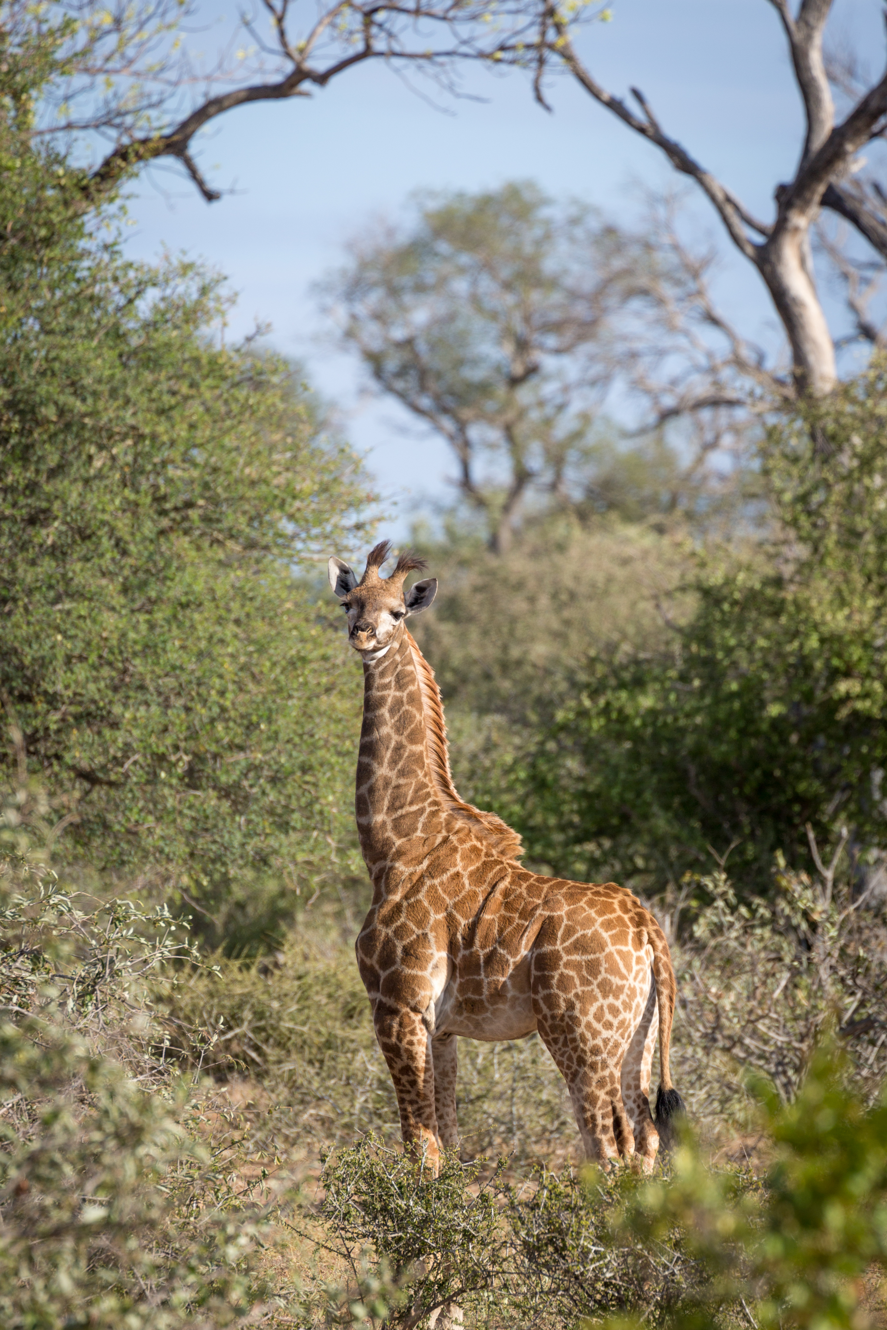 Cape Giraffe, Timbavati Game Reserve, South Africa