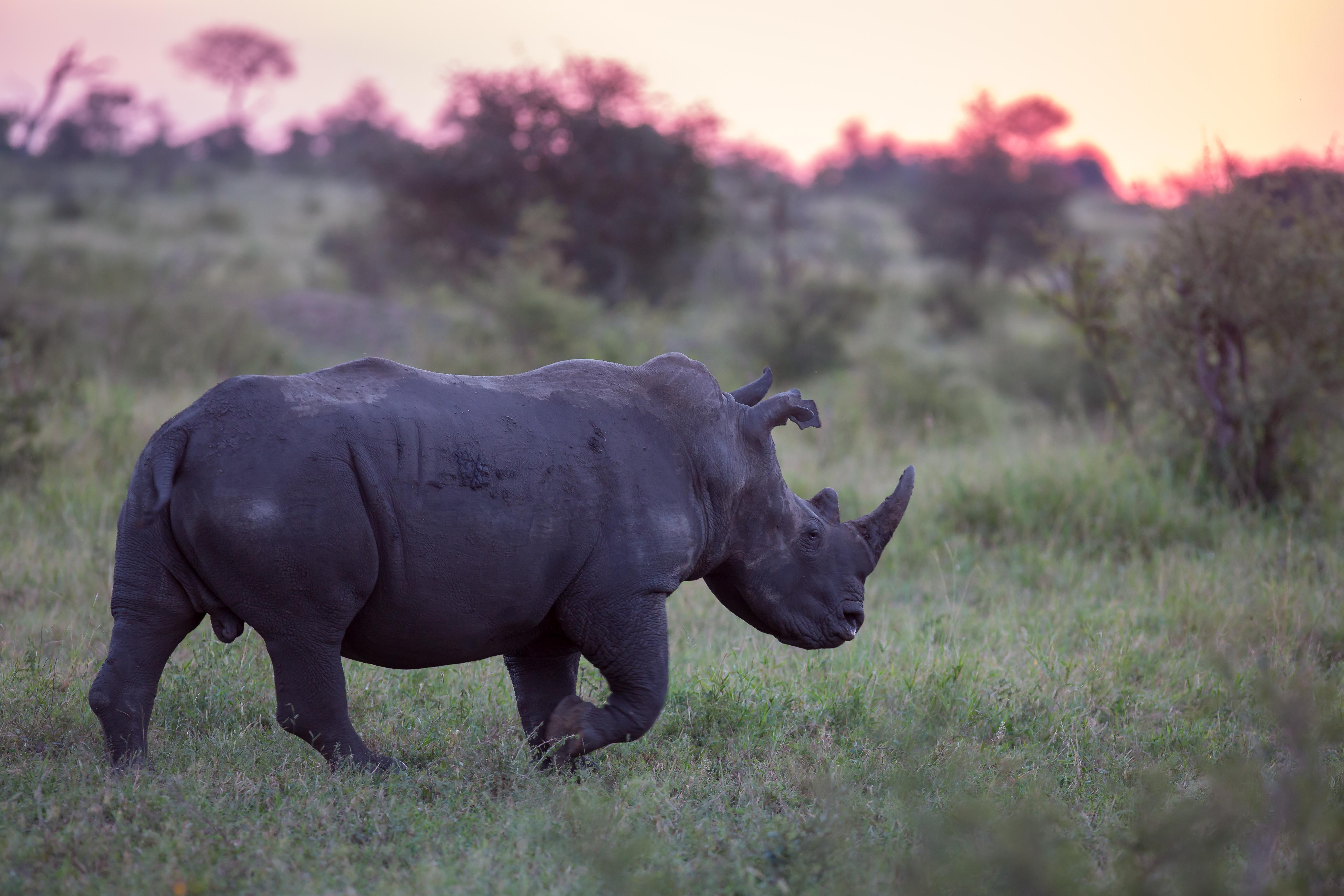 White Rhino, Manyeleti Game Reserve, Sou