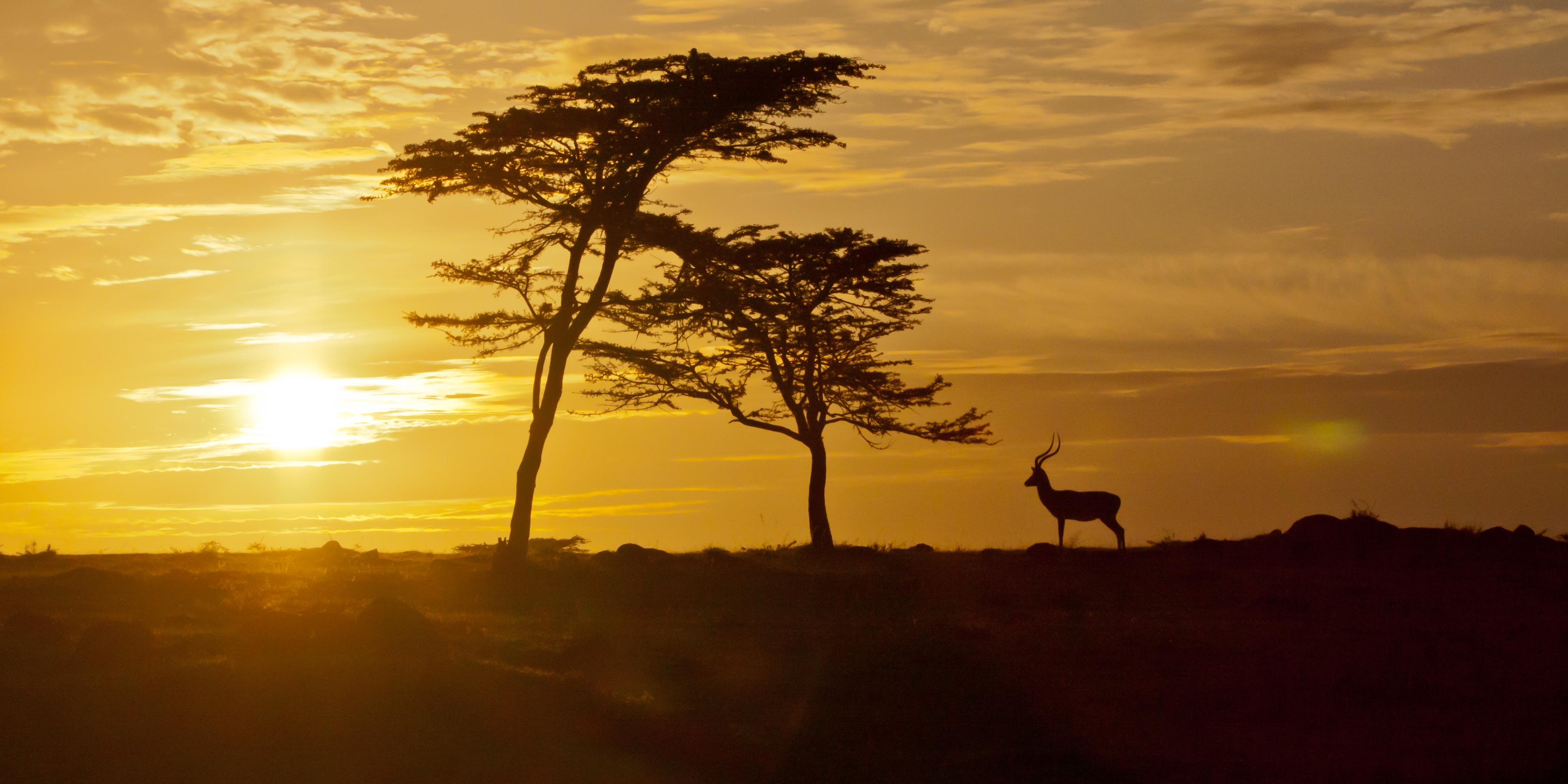 Impala, Masai Mara, Kenya