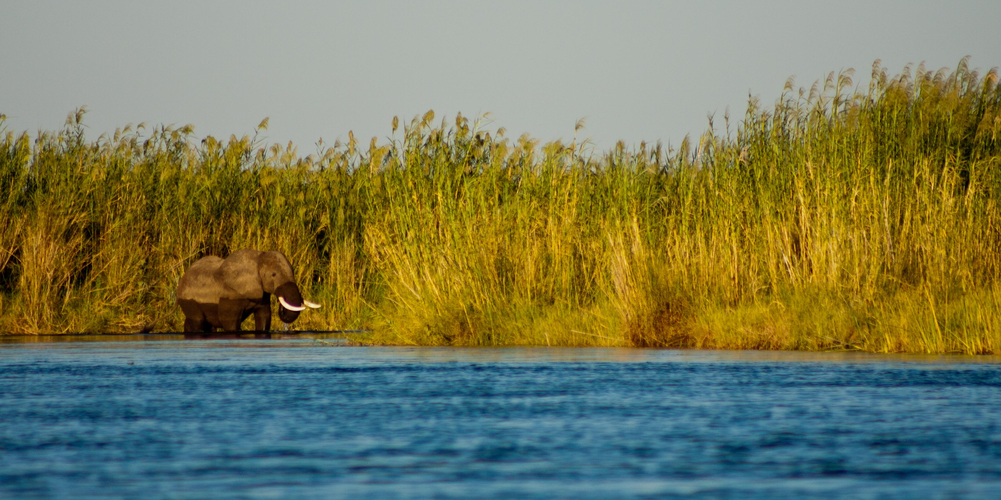 Elephant, Zambezi River, Zambia