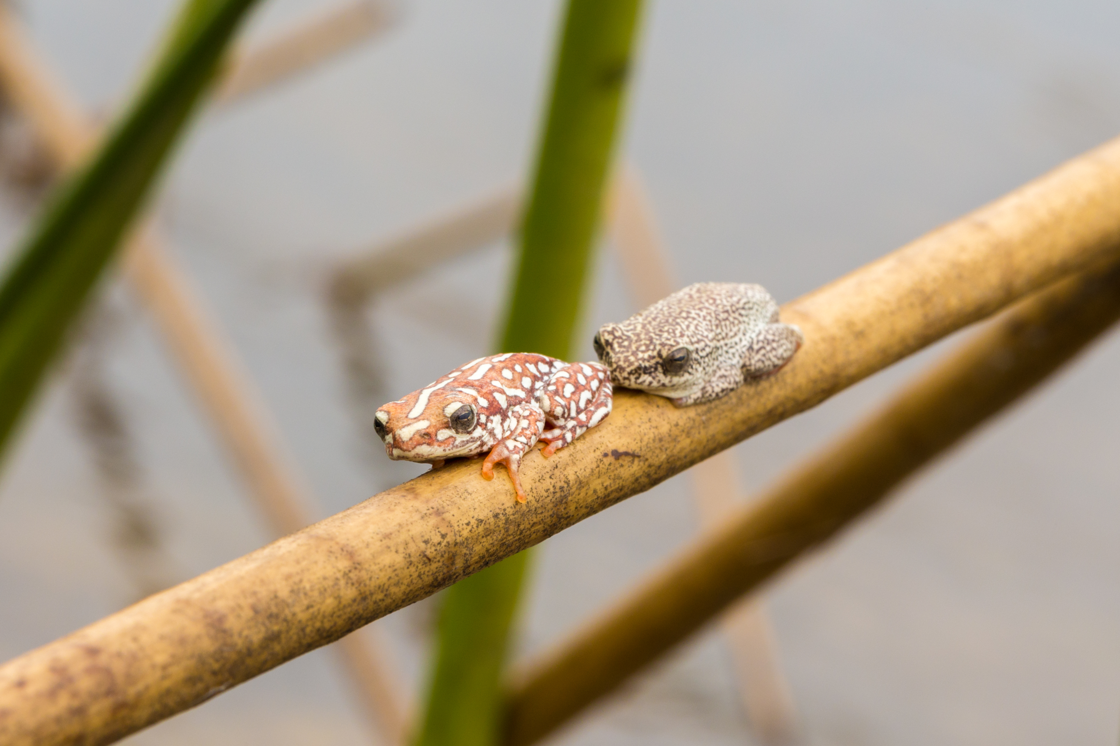 Painted Reed Frogs, Okavango Delta, Botswana