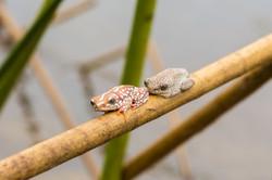 Painted Reed Frogs, Okavango Delta, Botswana
