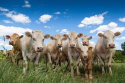 Charolais Cattle, Graham, Texas, USA