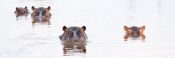 Hippos, Okavango Delta, Botswana
