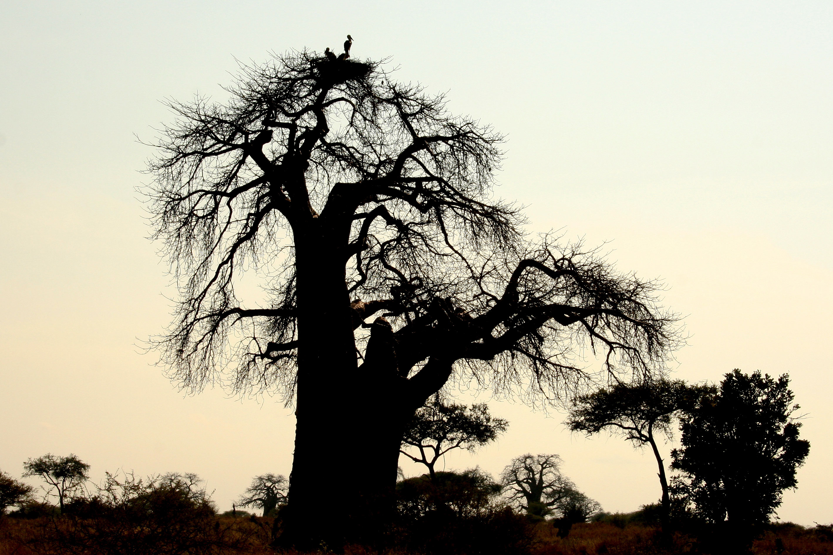 Marabou Storks on Baobab, Tarangire National Park, Tanzania