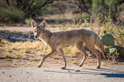Coyote, Saguaro National Park, Arizona, USA
