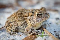 Oak Toad, Florida, USA