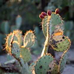 Prickly Pear Cactus, Arizona, USA