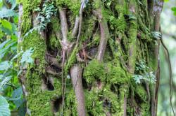 Stranglers Fig Tree, Bwindi Impenetrable Forest, Uganda