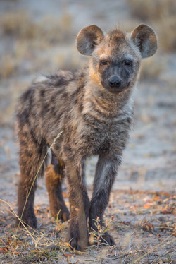 Spotted Hyena, Timbavati Game Reserve, South Africa