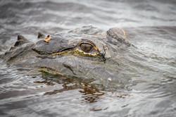 Alligator, Florida, USA