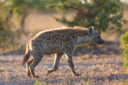 Spotted Hyena, Manyeleti Game Reserve, South Africa