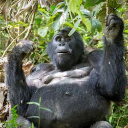 Mountain Gorilla, Bwindi Impenetrable Forest, Uganda