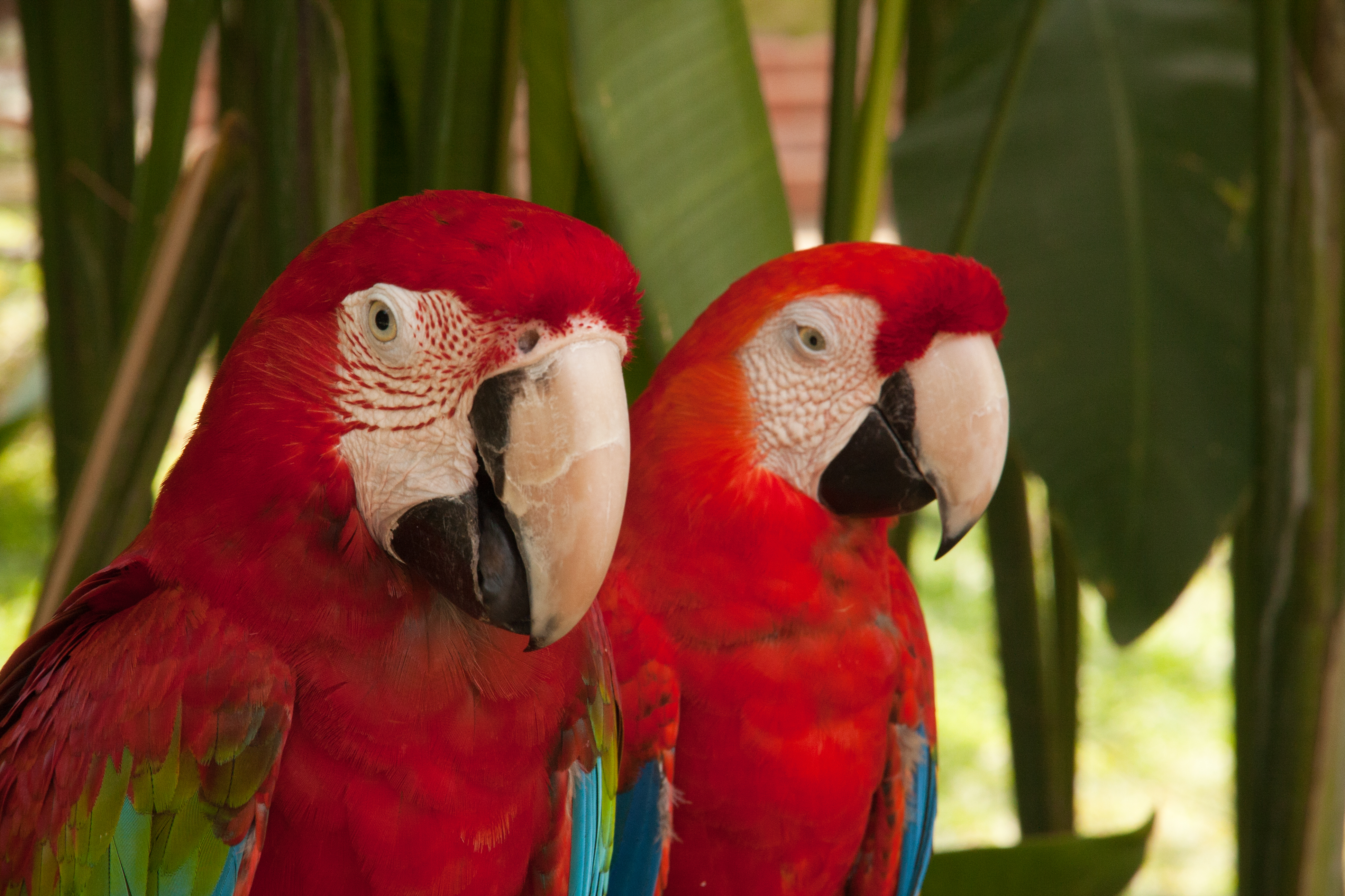 Macaws (Aras), Bali, Indonesia