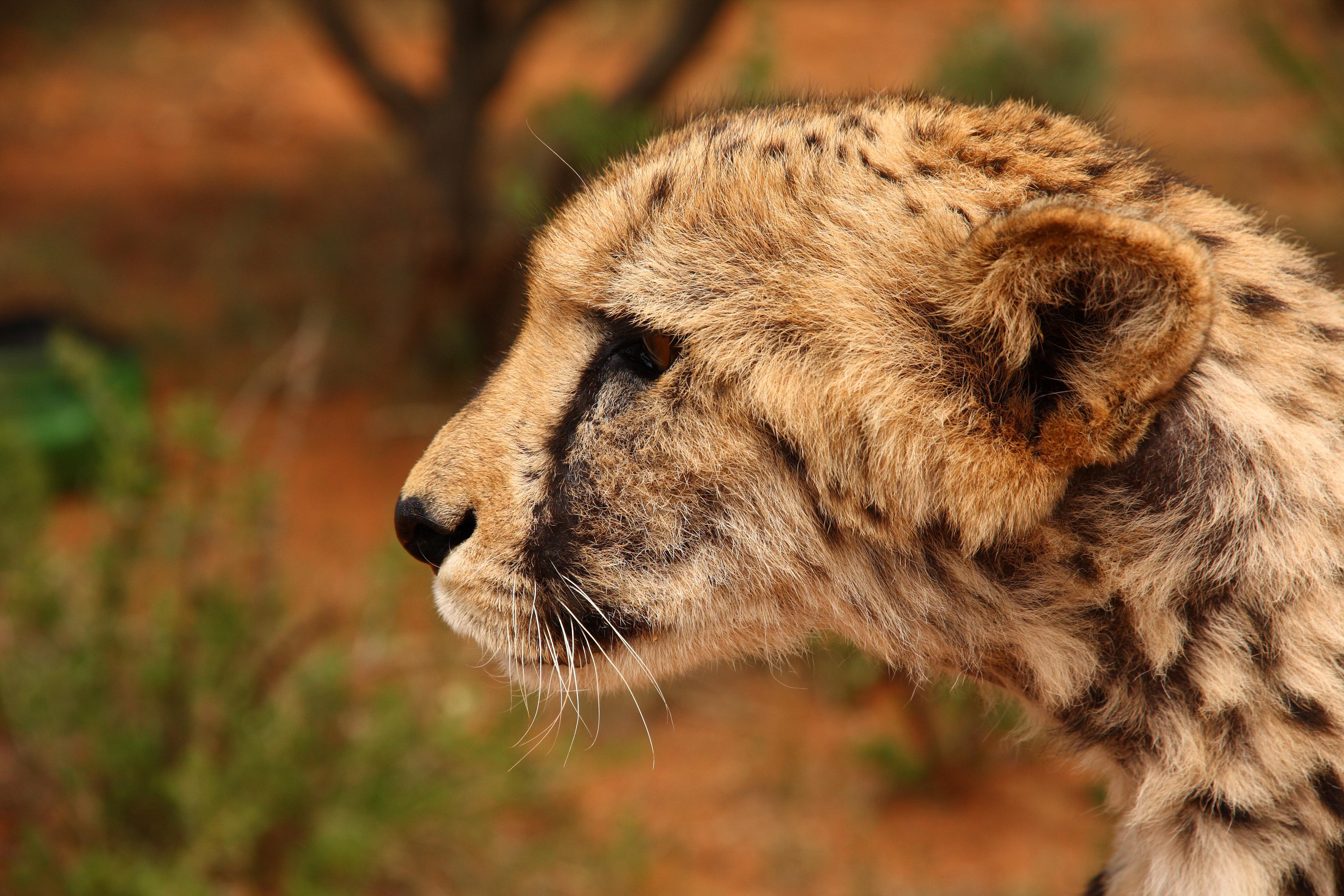 Cheetah, Omaheke, Namibia