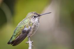 Hummingbird, Saguaro National Park, Arizona, USA