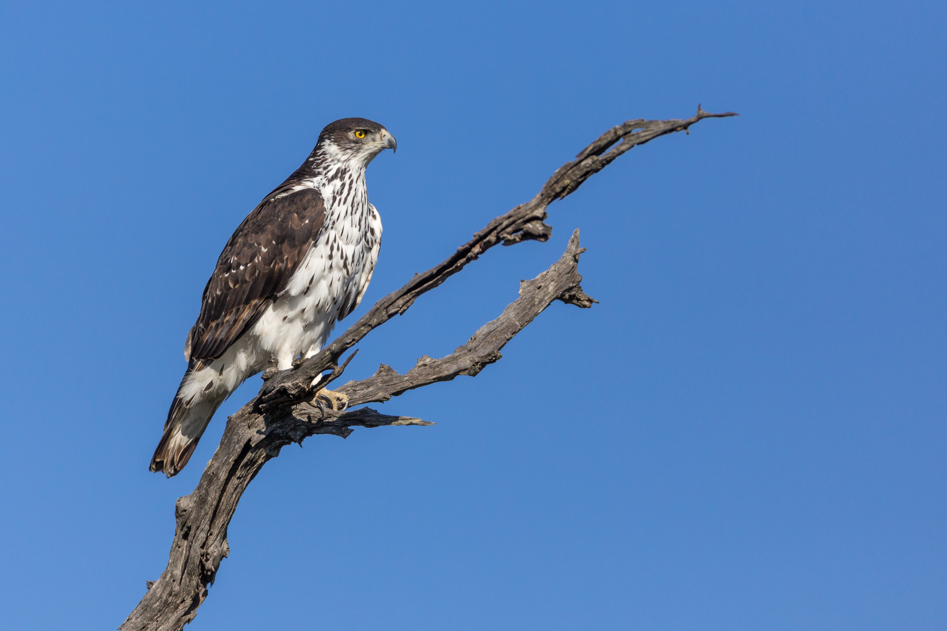 African Hawk Eagle, Timbavati Game Reserve, South Africa