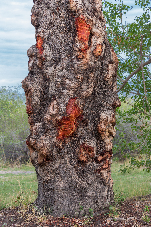 Marula Tree, Okavango Delta, Botswana