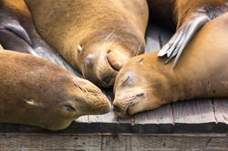 Sea Lions, California, USA