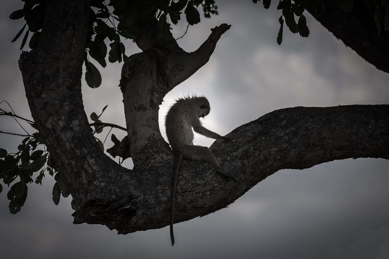Vervet Monkey, Savuti Marsh Area, Botswana