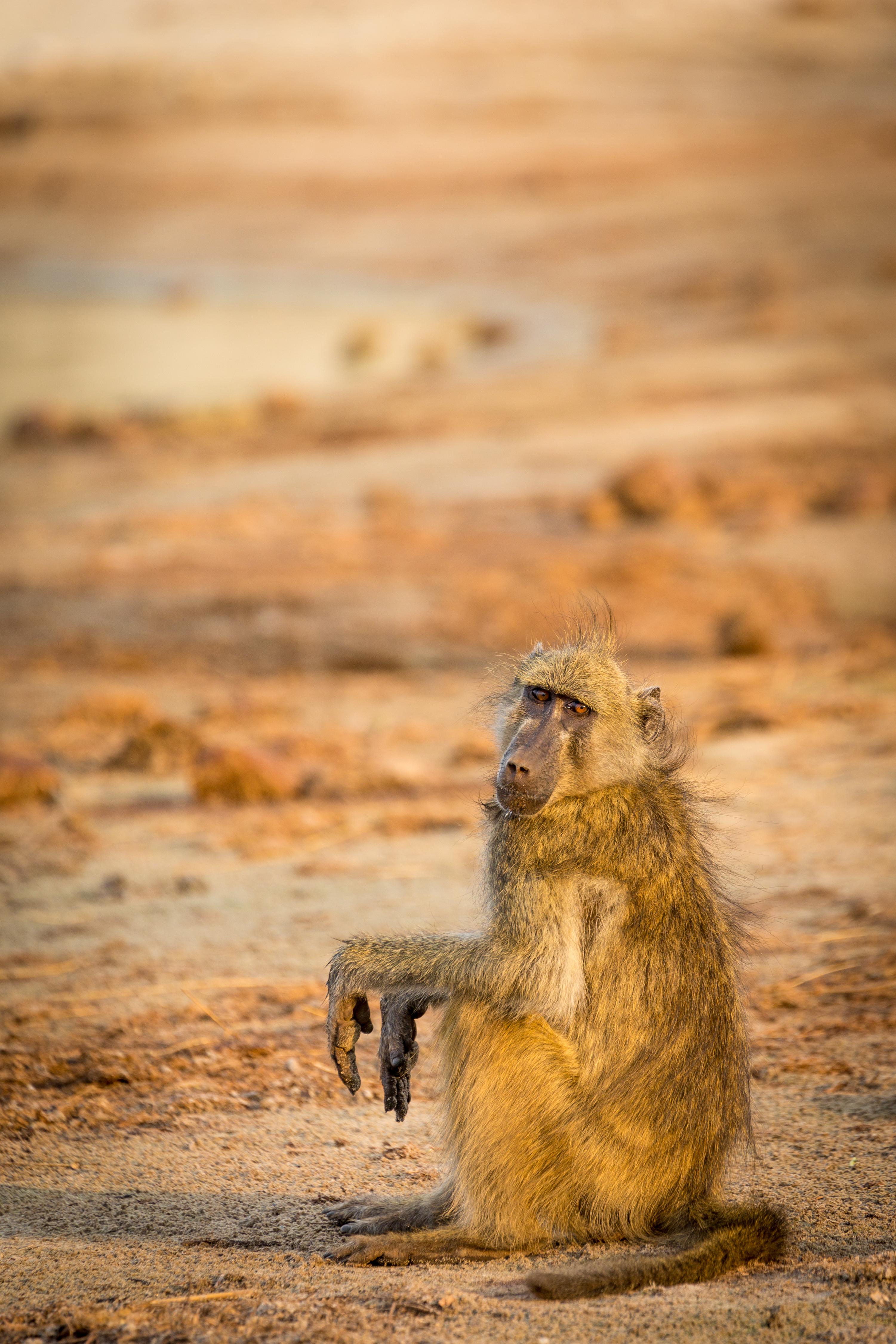 Baboon, Chobe River, Botswana