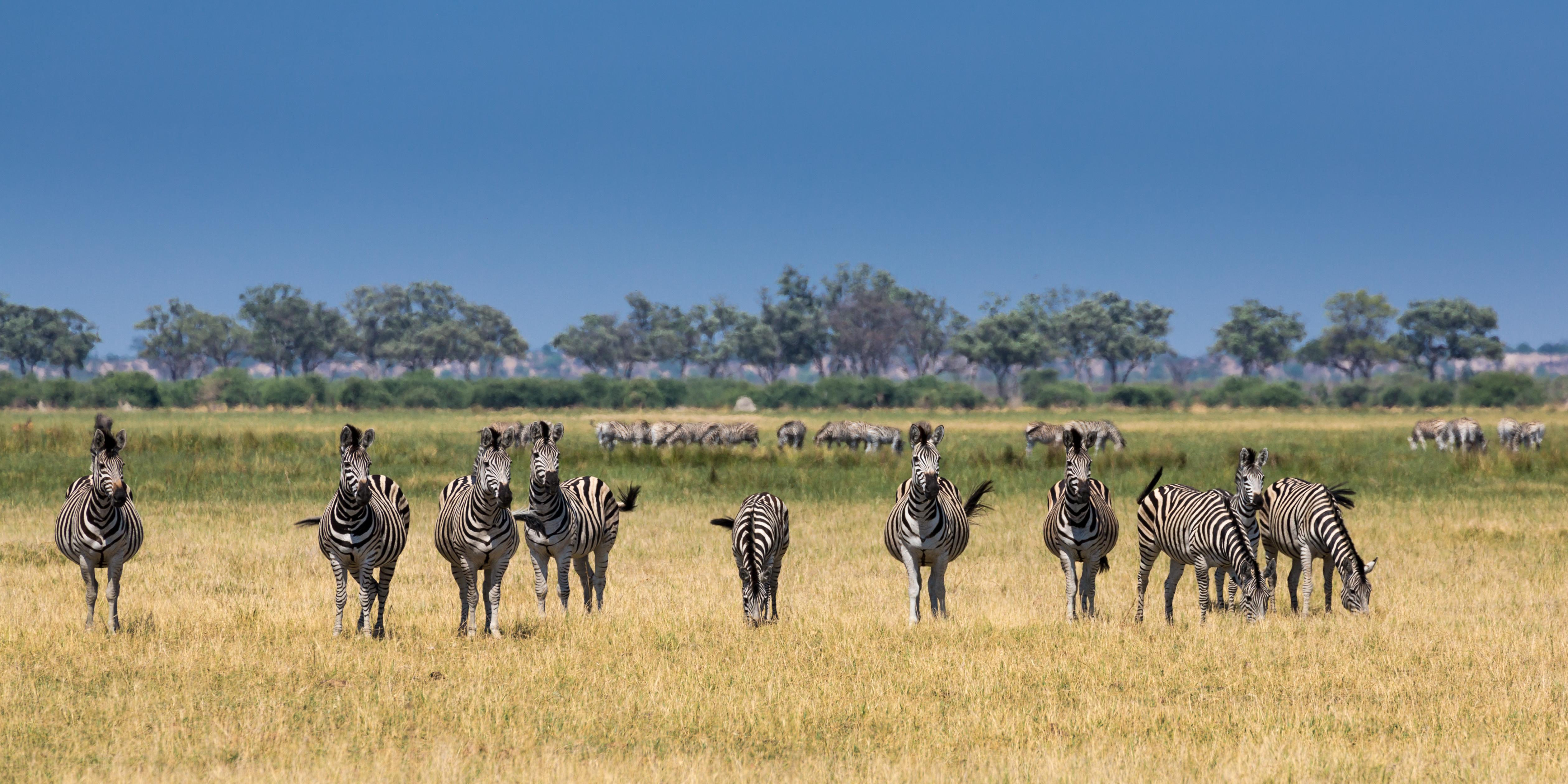 Zebras, Savuti Marsh Area, Botswana