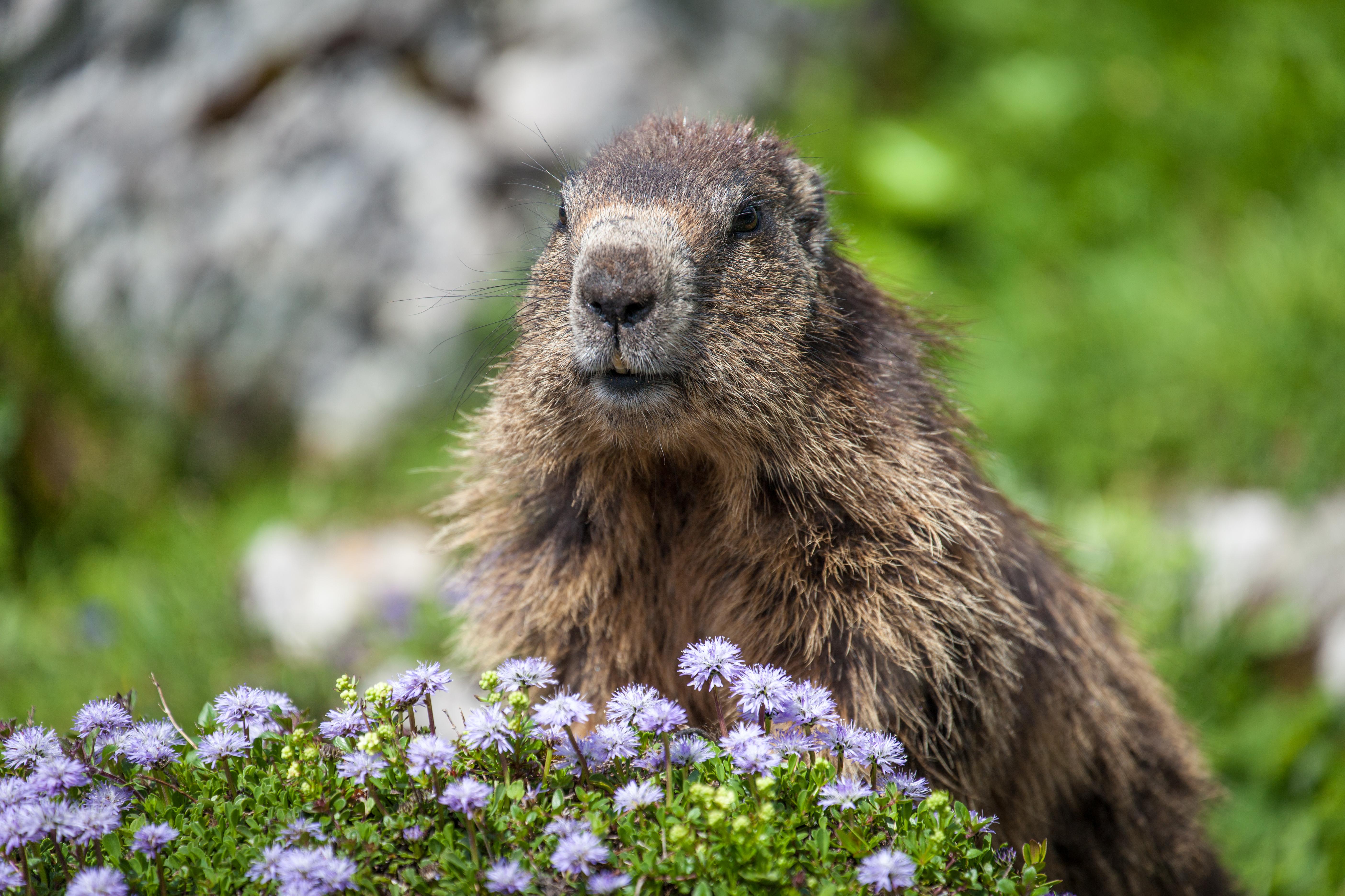 Alpine Marmot, Austria