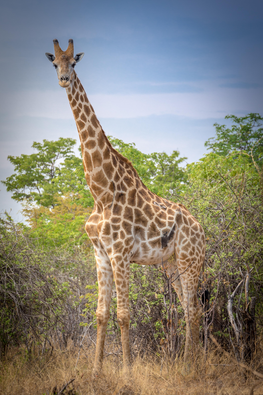 Angolan Giraffe,Savuti Marsh Area, Botswana