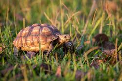 Gopher Tortoise, Florida, USA