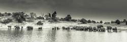 Elephants, Chobe River, Botswana