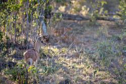 Dik-Dik, Timbavati Game Reserve, South Africa