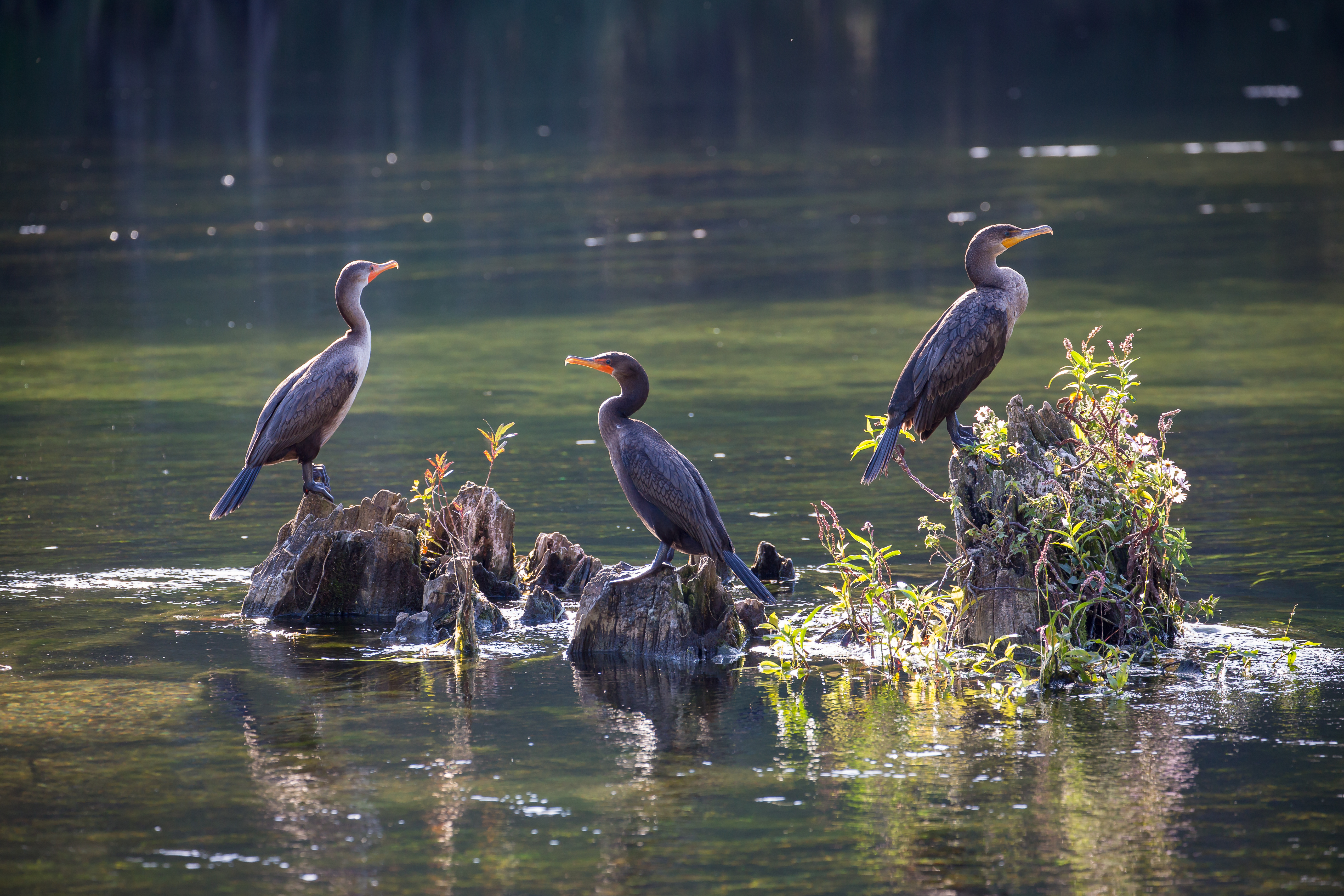 Double-crested Cormorant, Florida, USA