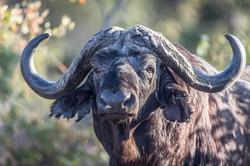 African Buffalo, Manyeleti Game Reserve, South Africa