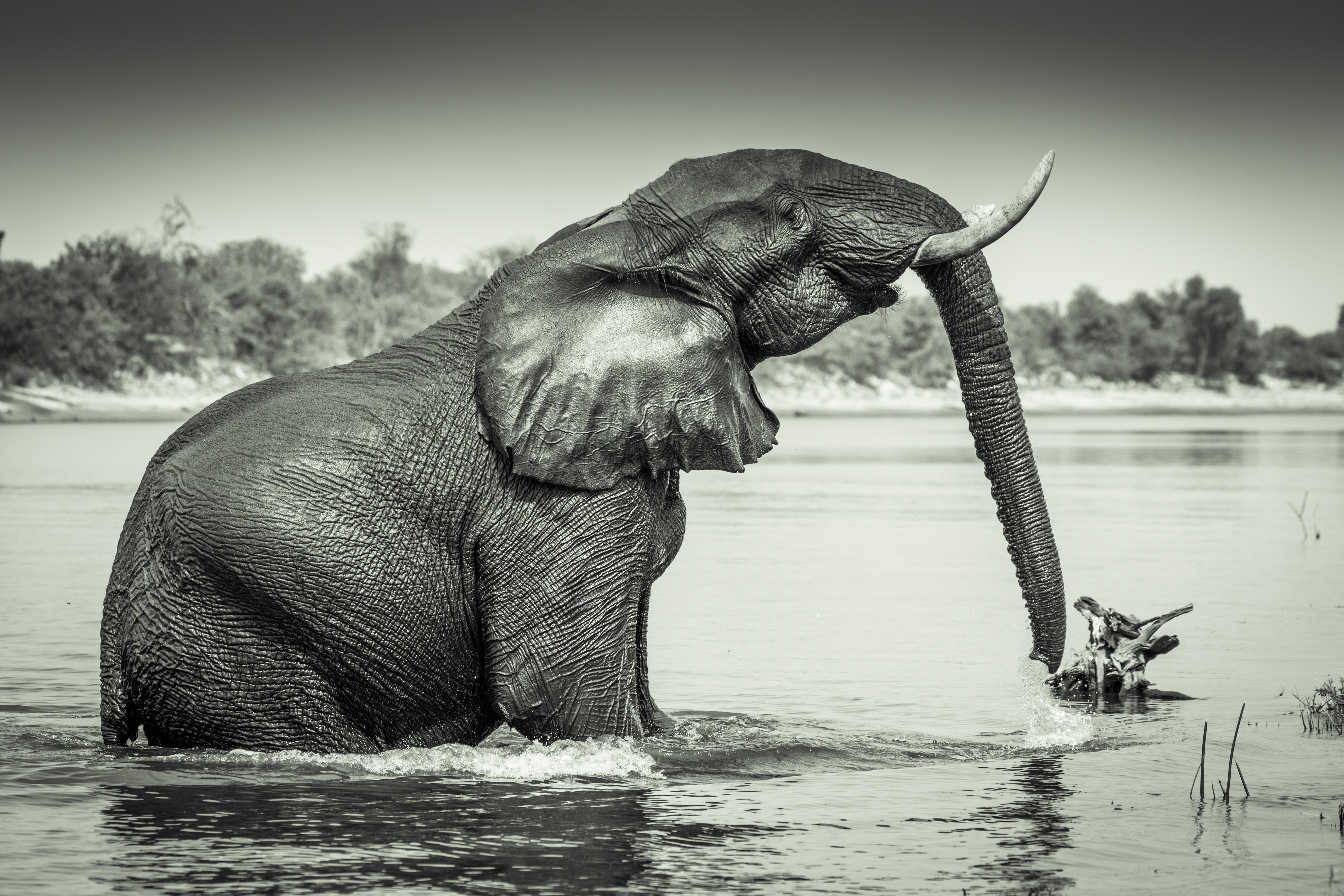 Elephant, Chobe River, Botswana