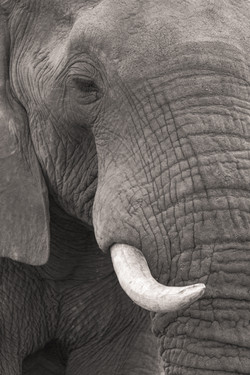 Elephant, Timbavati Game Reserve, South Africa