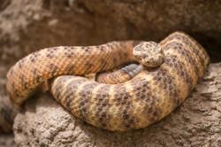 Rattle Snake, Saguaro National Park, Arizona, USA