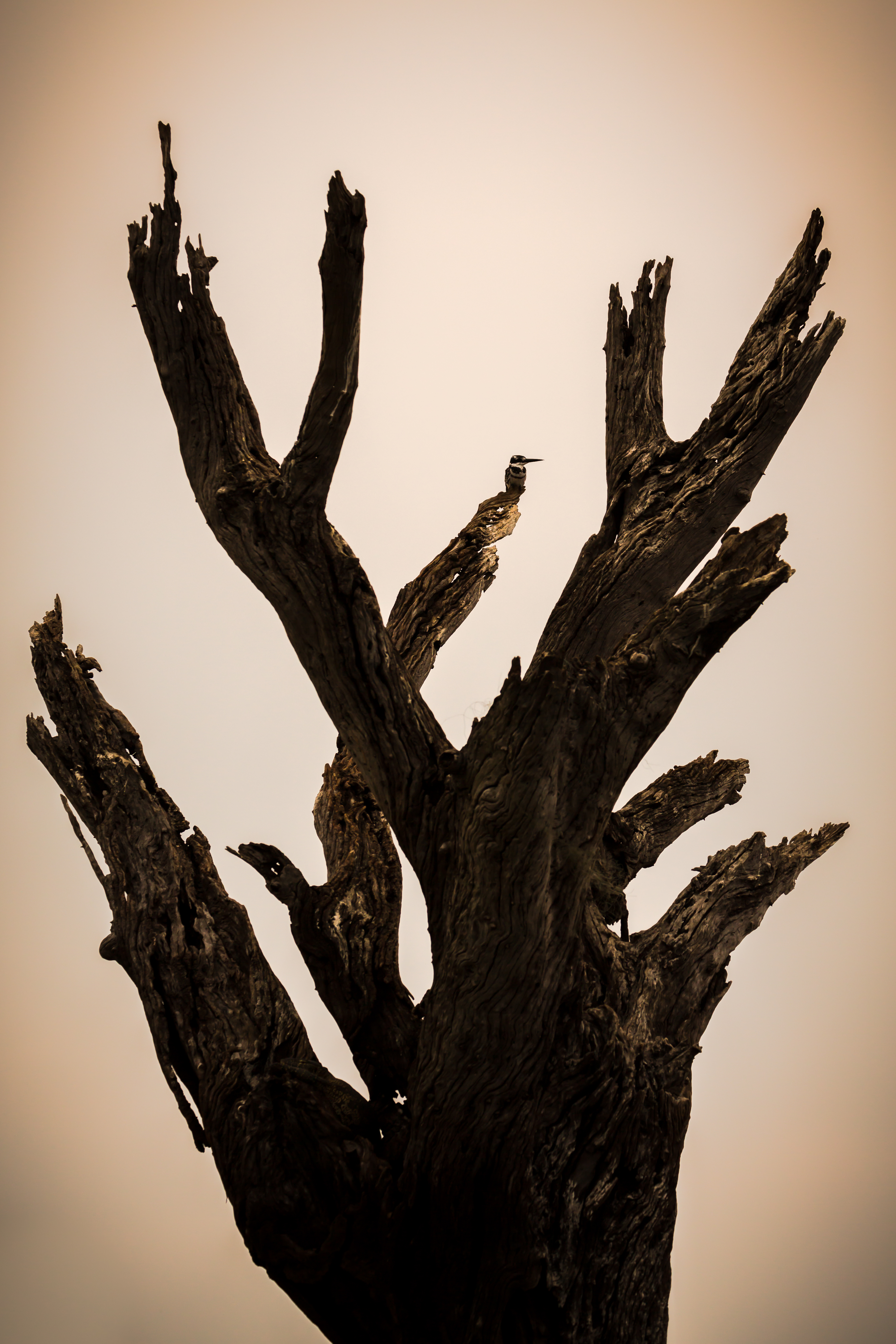 Kingfisher on Dead Tree, Chobe River, Botswana